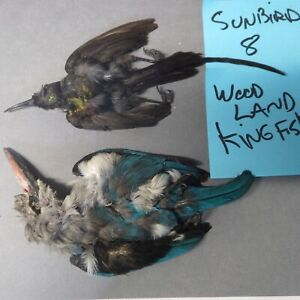 Woodland king fisher and sunbird #8 skin taxidermy or fly ty