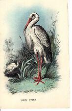 Antico Chromo-LITHO Bird Print-CICOGNA BIANCA-LLOYD 'S Natural History (c1890)