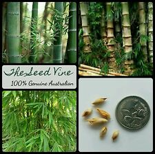 10+ MALE BAMBOO SEEDS (Dendrocalamus strictus) Privacy Tropical Grows Fast