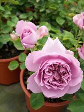 Love Song Light Lavender Rose 1 Gal Live Bush Plants Floribunda Plant Fine Roses