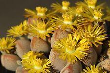 Dinteranthus microspermus ssp.puberulus (bulk pack of 1000 seeds)