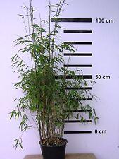 Fargesia jiuzhaigou 1, 100 cm +, Bambus, Gräser, Jadebambus, roter Bambus