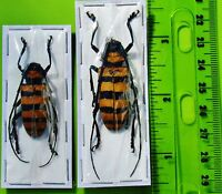 Seram Yellow & Black Longhorn Beetle Nemophas grayi Male FAST FROM USA