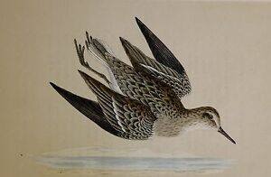 +c1875 ANTIQUE PRINT ~ TEMMINCK'S STINT HAND COLOURED British Birds Morris