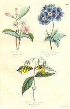 BOTANICALS. Weigelia Vosea; Bouvardia flava 1852 old antique print picture