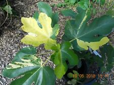 """Very rare Variegated Fig tree """"Jolly Tiger""""-1 cuttings 10""""   -VARIEGATED"""