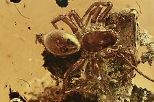 Ragno su corteccia Araneae rara inclusione fossile in Ambra Baltica 14x11x3 RARO