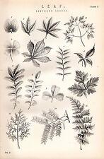 1880 Imprimé~Botany~Divers Composé Feuilles