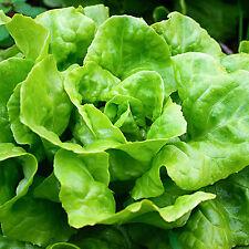 New 750 Butter Head Deli Lettuce Lactuca Sativa Sweet&Crispy Leaves Seeds