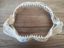 J115 51cm BULL SHARK JAWS Carcharhinus leucas BIG MONSTER HUGE some loose teeth
