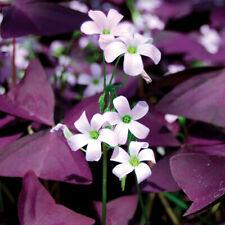 10, 25, 50 to 100 Bulbs of Oxalis Triangularis, False Shamrock Purple Shamrock