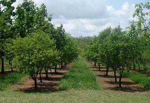 Sandalwood Tree Seed Aromatic Oil Frost OK Arid Living Small Evergreen Tree