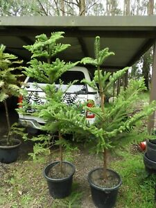 Norfolk Island pine 1.6mt tall in a 40cm pot LARGE .