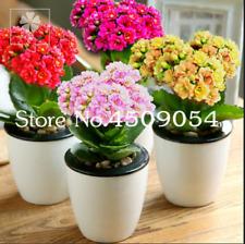 100 PCS Seeds Winter Kalanchoe Bonsai Longevity Flowers Garden Plants Rare 2020