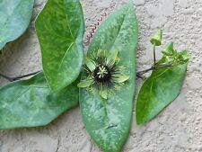 Passiflora 'Manta'