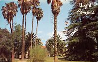Tucson AZ~University of Arizona~Campus Palm Tree Walk~1961 Postcard