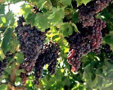 25 Red Organic grape seeds vitis vinifera vine tree from Jerusalem Israel ענבים