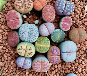 Lithops Rare Living Stones Plant Succulent Cactus Fresh 50 Viable Seeds + Gift !