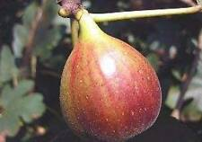 Brown Turkey Fig Fruit Tree Ficus carica Live Plant