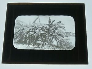 """4"""" by 3 1/4"""" Magic Lantern Slide Palm Trees & Water Copelin Photo Chicago"""