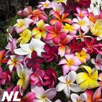 50Pcs Plumeria Flower Seeds 5 Kinds Frangipani Graceful Beautiful Tropical Plant