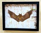 Z20B Taxidermy Real Woolly horseshoe bat oddities curiosities home decor frame