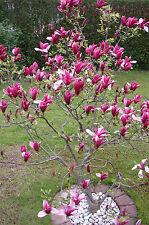 Rote Tulpen-Magnolie, Magnolia Susan, Höhe: 140-150 cm. Super ! + Dünger