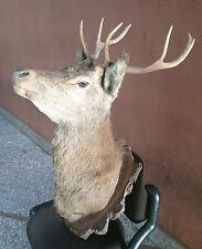 Testa trofeo cervo imbalsamato anni 30 con palco di corna taxidermy deer