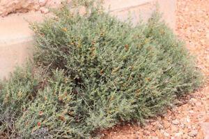 Enchylaena tomentosa - Ruby Saltbush or Barrier Saltbush - 30 Seed Pack