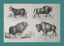 Jack Ochse Stier Wisent Auerochse Buffalo Moschus Bison Büffel Jagd Jäger hunter