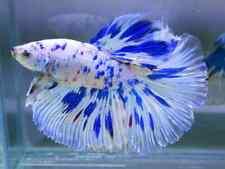 (LimitedCollection!) Premium Live Betta fish l RoseTail Marble Avatar No.3