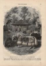 Yak Bos mutus Jak Tibetischer Grunzochse HOLZSTICH von 1866 Rinderrassen