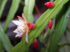 Lepismium bolivianum cutting approx 6 inches long Pfeiffera boliviana