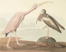 Audubon James John Scarlet Ibis Canvas Print 16 x 20    #3850