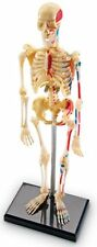 Learning Resources Human Skeleton Anatomy Model