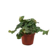 Plante Ficus pumila Minima en pot Ø9cm (mur cadre tableau végétal d'intérieur)