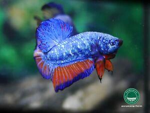 Avatar HMPK male betta #0771 / 3.5 mo / nice form / rare color