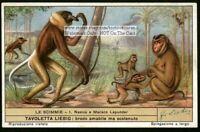 Proboscus Rhesus Monkey Primate Ape c60 Y/O Trade Ad Card