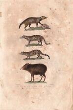 MAMMALS. Civette (Civet); Kibeth; Genette (Genet); Pecari. BUFFON 1837 print