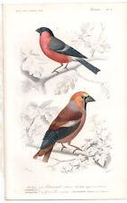1849 Original Birds Print Bullfinches Pl. 21, by Ch. Orbigny, Atlas Volume 1
