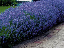 LAVENDER / ENGLISH * SEEDS * FURFUMES * AIR FRESHENERS * DRIED ARRANGEMENTS 50 C