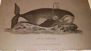 SHAW. RARE -  COPPER ENGRAVED.  ANTIQUE PRINT - 1801. GREAT MYSTICETE - MAMMALIA