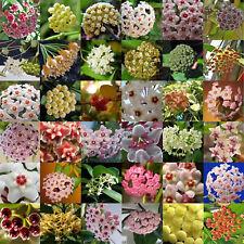 300 PCS Mix Hoya Carnosa Samen versenkten Ball Orchid Home Blumengarten Pflanze