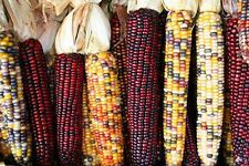 Heirloom INDIAN CORN Ornamental 100 SEEDS High Yields Colorful Large Ears