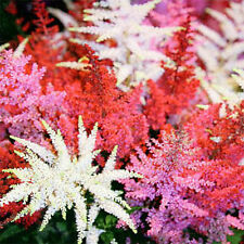 Mix Astilbe Chinensis Pumila Flowers Perennial Plants 50 Seeds Original Package