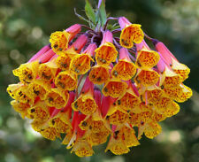 Climbing Alstroemeria (Bomarea multiflora ) 15 Seeds
