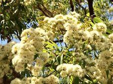 Angophora floribunda in 50mm forestry tube native tree
