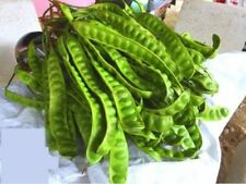 5 seed Parkia speciosa Hassk,Stories Vegetable Strong smell delicious