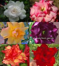 "Amazing!! ADENIUM ""Mixed 6 Types"" 6 GRAFTED PLANTS"
