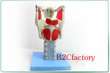 3 times  Anatomical Medical Model Functional Human Larynx Model 30*15*14cm New